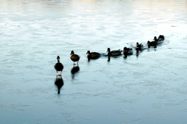 Leadership_ducks