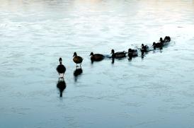 Leadership_ducks
